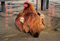 Chinese New Year greeting for year of the rooster/hen 2017